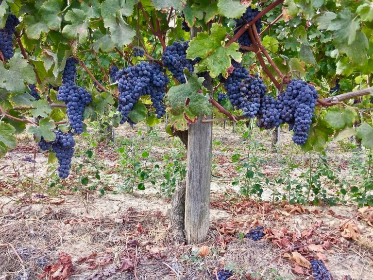 Nebbiolo grapes just before harvest
