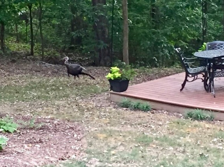 Even the turkeys social distance in Tennessee!