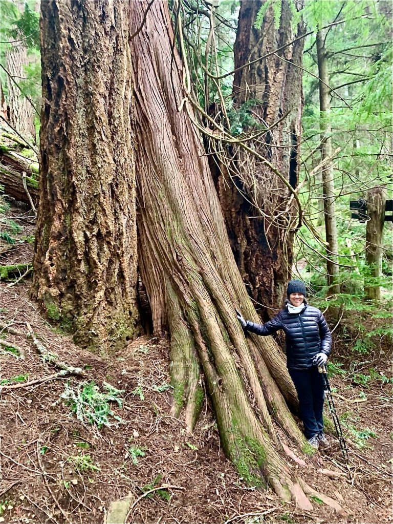 A Western Red Cedar growing between two Douglas Fir