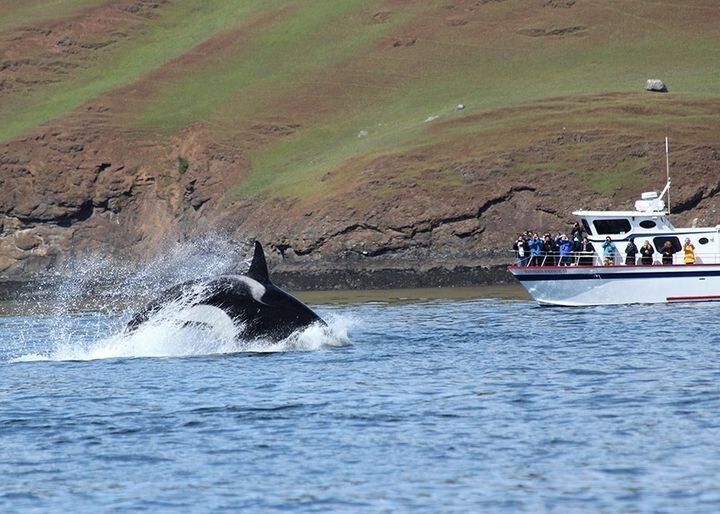 An Orca Whale jumping around the San Juan Islands