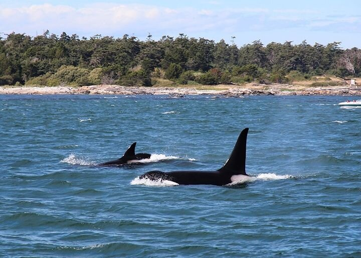 Whale watching with Deer Harbor Charters