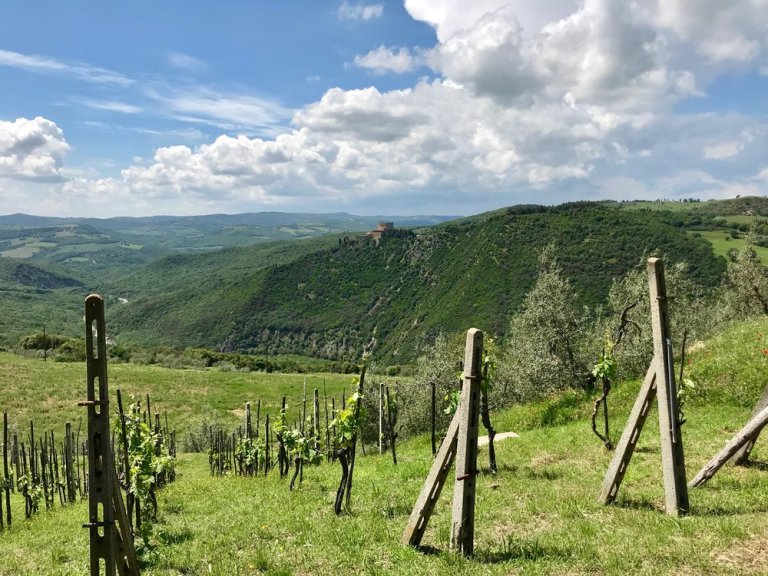 Grape vines in the Val d'Orcia